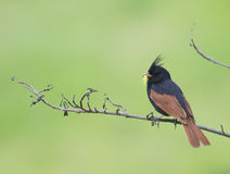 Beautiful Sparrow Crested Bunting Royalty Free Stock Photography