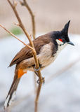 Crested bunting Royalty Free Stock Photos