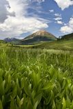 Crested Butte Wildflowers growing on a mountainside Stock Image