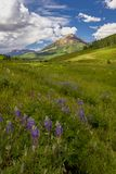 Crested Butte Wildflowers Royalty Free Stock Images