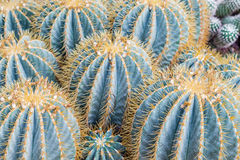 crested cactus with lots of needles Royalty Free Stock Photo