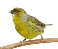 Crested Canary isolated on white Royalty Free Stock Photography