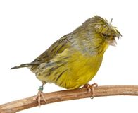 Crested Canary isolated on white Stock Photos