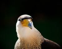Crested Caracara Stock Photo