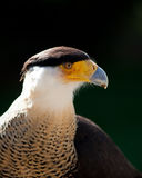 Crested Caracara Royalty Free Stock Images