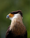 Crested Caracara Royalty Free Stock Photo
