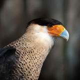 Crested caracara. Beautiful colored crested caracara hawk intense look stock photography