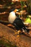 crested caracara Стоковое фото RF