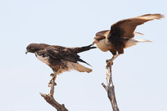 Crested Caracara Tugging on the Wing of a White-tailed Hawk Stock Photos