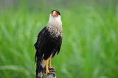 Crested Caracara Royalty Free Stock Image
