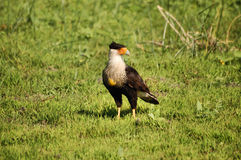 Crested Caracara male Stock Photo