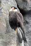 Crested Caracara (Polyborus plancus) Stock Photography