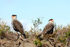 Crested Caracaras Stock Image