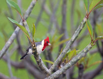 Crested cardinal, Hawaii Stock Images
