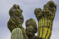 Crested Cardon Cactus. Looking up at a crested cardon cactus. No one knows what causes cresting & x28;the abnormal formations& x29; to happen on cactuses Stock Image