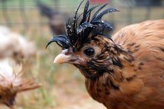 Crested chicken. Decorative crested chicken, beige, orange, black spots, black crest Stock Photography