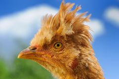 Crested Chicken in Profile Royalty Free Stock Image
