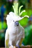 crested cockatoo желтый цвет еды Стоковые Изображения RF