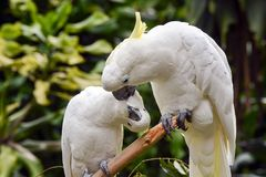 Yellow crested cockatoo. Crested cockatoo cuddle each other royalty free stock photography
