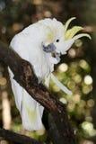 crested cookatoo птицы Стоковая Фотография RF