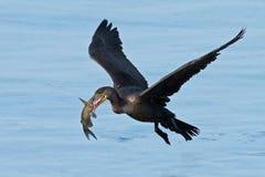 двойник crested cormorant Стоковое Фото