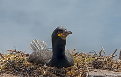 Crested cormorant, (Phalacrocorax aristotelis) Stock Photography