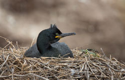 Crested cormorant, (Phalacrocorax aristotelis) Royalty Free Stock Photo