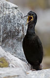 Crested cormorant, (Phalacrocorax aristotelis) Royalty Free Stock Photos
