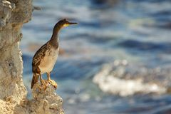 Crested cormorant sitting on a rock Phalacrocorax aristotelis. Crested cormorant sitting on a rock on a beautiful background Phalacrocorax aristotelis Royalty Free Stock Photos