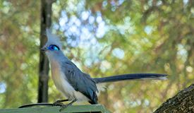 Crested Coua Bird Royalty Free Stock Image