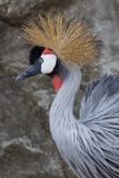 Crested Crane Royalty Free Stock Photos