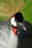 Crested Crane. A Crested Crane showing off his Plumage Stock Image