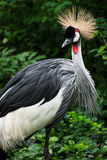 Crested Crane (Balearica regulorum gibbericeps) Stock Image