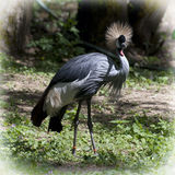 Crested crane (Balearica regulorum gibbericeps) Stock Photography