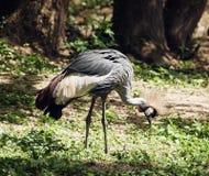 Crested crane bird Royalty Free Stock Photos