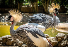 Crested Cranes Stock Photography