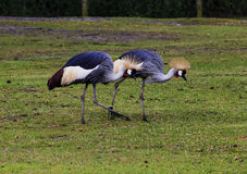 Crested cranes on a walk Stock Image