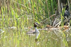 Dabchick crested sitting in the nest with baby on the lake bush. Crested crebe sitting in the nest with baby on the lake bush Stock Images