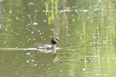 Crested crebe swimming on the lake. Dabchick crested swimming on the lake grebe Royalty Free Stock Images