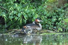 Crested crebe swimming on the lake. Dabchick crested swimming on the lake grebe Stock Image