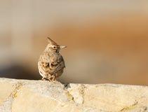 Crested cristata Galerida жаворонка Стоковое фото RF