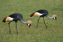 Free Crested / Crowned Crane, Uganda, Africa Stock Images - 26293534