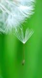 Crested Dandelion Stock Photo
