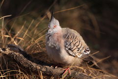 Crested dove Royalty Free Stock Photography
