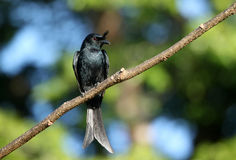 Crested Drongo � Madagascar bird Stock Photography