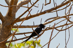 Crested Drongo (Dicrurus forficatus). Andasibe National Park, Madagascar Stock Photography