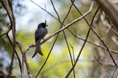 Crested drongo, Dicrurus forficatus is common in Madagascar, reserve Tsingy Ankarana, Madagascar. One Crested drongo, Dicrurus forficatus is common in Madagascar Stock Photos