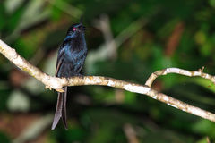 Crested drongo. The crested drongo (Dicrurus forficatus) in Masoala National Park, Madagascar Stock Image