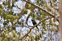 Crested drongo, Dicrurus forficatus, on a tree in Ankarana reservation, Madagascar. One Crested drongo, Dicrurus forficatus, on a tree in Ankarana reservation Stock Image