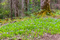 Crested dwarf iris wildflowers in spring forest. Royalty Free Stock Image